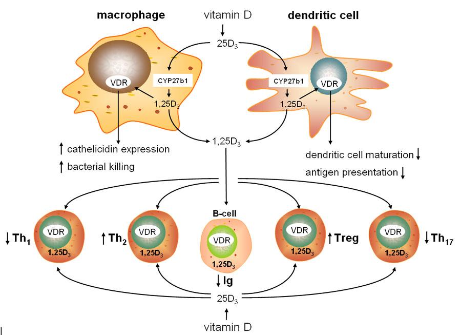 Vai trò đặc biệt của Vitamin D3